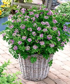 Sweet Scented Geranium - Joanne I mentioned these for inside - there are millions of kinds - I am obsessed with them! They smell DIVINE! Plants, Geranium Plant, Sweet Scented Geranium, Geraniums, Flower Planters, Ornamental Plants, Container Gardening, Garden Containers, Scented Geranium