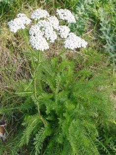 Il s'agit de l'espèce type de l'achillée millefeuille aux petites fleurs blanches regroupées en capitules. L'achillée aime les expositions ensoleillées, les sols légers, plutôt secs et peu calcaires mais relativement riches en matières...