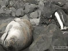 http://a.gifb.in/012011/1294080983_penguin-crosses-sea-lion.gif