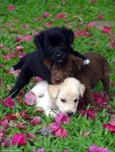 black chocolate and yellow lab puppies,  so sweet