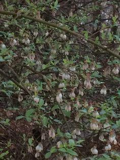 Flowers on the blueberry bush :) ... stay away Mr Bear !!!