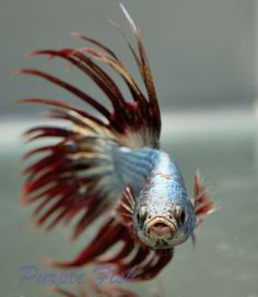 Amazing silver/red copper crown tail male betta Siamese fighting fish