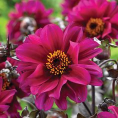 Dahlia Bishop Of Canterbury. Finally made a Dahlia decision and ordered 6 tubers.