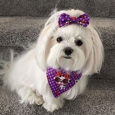 Pet Bandanna for Dogs, Reversible, Custom Made, Made to Order Dog Fashion Accessory Featuring a Cute Black and White Dog Print Black And White Dog, White Dogs, Dogs And Puppies, Maltese Puppies, Teacup Maltese, Dog Wash, Malteser, Pet Fashion, Maltipoo