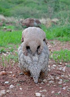 Mother and Baby Pangolin. Source