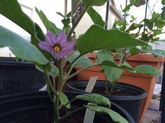 Japanese eggplant flower in 15 galon container. Tomato Seedlings, Eggplant, Container, Japanese, Flowers, Plants, Japanese Language, Flora, Plant
