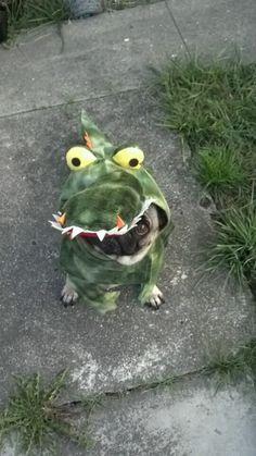 freddarling:  Happy Halloween from Marty the alligator pug!!