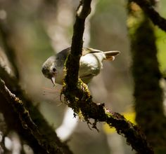 Protect Hawaii's Stunning Endangered Forest Birds | Indiegogo #birdwatching #songbird #Kauai