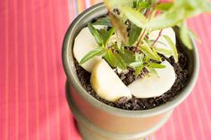 How to Use Vinegar to Get Rid of Fungus Gnats on a House Plant | Home Guides | SF Gate