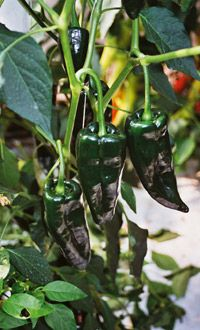 Learn how to grow chilli peppers in the UK. T&M's article helps you grow chillies on windowsills, in greenhouses, or directly in the ground.