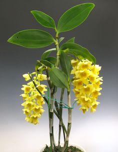 """Flores da orquídea Dendrobium - """"densiflorum"""". A grande maioria das orquídeas são epífitas, ou plantas de ar, que normalmente crescem nos troncos e galhos de árvores."""