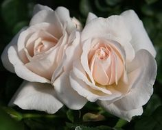 Miss Dior English Rose
