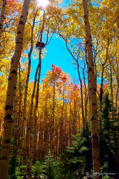 ~~Quaking Aspen Sky ~ autumn by Jeffrey Favero~~