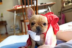 """""""Look what I got Mommy"""" - OMG what a cute Frenchie Puppy!!"""
