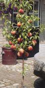 Belle of Georgia Semi-Dwarf Peach Trees :: Fruit Trees   Berry Plants   Rose Bushes   Perennials