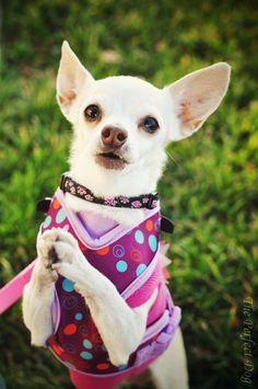 Pretty please? such precious dogs are these I love my Bella