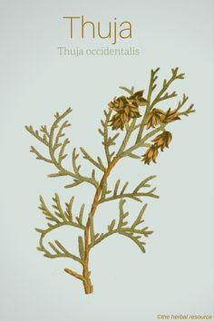 Thuja occidentalis