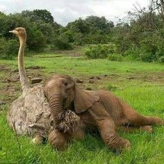 This ostrich and baby elephant snuggle is just heartwarming! - This ostrich and baby elephant snuggle is just heartwarming! This ostrich and baby elephant snuggle is just heartwarming! Nature Animals, Animals And Pets, Animals Images, Wild Animals, Farm Animals, Beautiful Creatures, Animals Beautiful, Pretty Animals, Beautiful Beautiful