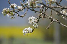 En Normandie, les pommiers et les champs de colza sont en fleur !