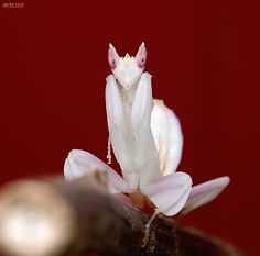81.Hymenopus coronatus by Bullter on DeviantArt