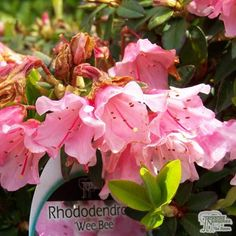 Rhododendron 'Wee Bee' is a small, compact shrub that is perfect for smaller gardens and would look well alongside plants with darker foliage. As with all rhododendrons add ericaceous compost when planting. Rhododendrons tend to have fine roots - so extra care. Don't plant too deep and water thoroughly; especially during dryer spells.