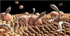 É possível combater vermes e parasitas com receitas naturais que não agridem nosso corpo.A medicina natural nos oferece várias e eficazes opções de tratamento.Os vermes e os parasitas são a causa de várias enfermidades.