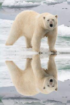 Female Polar bear (Ursus maritimus) reflecting in the water, Svalbard Archipelago, Barents Sea, Norway