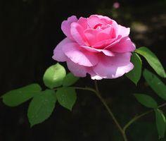 One of my David Austin roses.