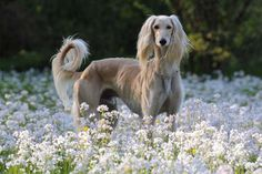 The Saluki. A gorgeous breed.
