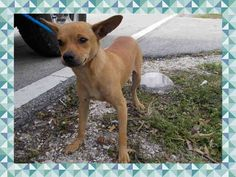 QT (A1671627) I am a female brown Chihuahua - Smooth Coated. The shelter staff think I am about 8 months old. I was found as a stray and I may be available for adoption on 01/14/2015. — hier: Miami Dade County Animal Services. https://www.facebook.com/urgentdogsofmiami/photos/pb.191859757515102.-2207520000.1420749870./907258312641906/?type=3&theater
