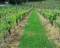 QUERCIALUCE vineyard in summer. We use natural methods also in vineyard in order to produce the best wine.