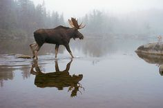 Serene Moose walking in shallow water in the fog.