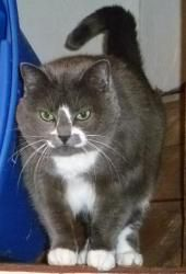 Meet Electra in Petfinder's Fit FurKeeps Gallery. Electra is a Domestic short-haired cat that loves to get her head scratched.