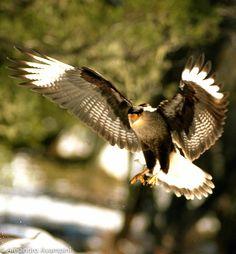 Carancho en Villa La Angostura - Patagonia Argentina #birds #patagonia #winter #argentina #animals