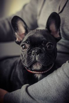 'Sweetness', the French Bulldog Puppy.