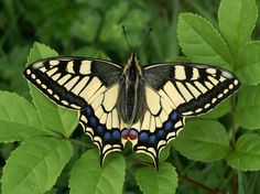 Butterflies of Europe - © Adrian Hoskins PAPILIO MACHAON - There are over 440 species of butterfly found in mainland Europe, including 57 which have resident populations in the UK.