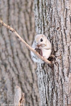 17 Ideas De Ardilla Voladora Japonesa Ardilla Voladora Ardillas Animales Bonitos