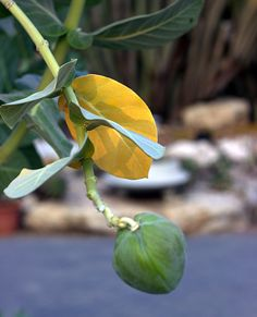 Sodom apple in Holon cactus park Cactus Park, Israel, Apple, Apple Fruit, Apples