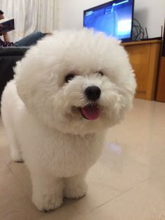 Baby Animals, Cute Animals, Teddy Bear Dog, Dog Haircuts, Japanese Cat, Bichons, Paws And Claws, Lap Dogs, Smiling Dogs