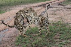 Cheetahs having Fun
