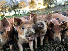 Have you ever tried heritage breed pork? With a higher fat content, the taste is unrivaled compared to typical supermarket pork. Come on in and see what the fuss is all about. Pork, Fat, Content, Animals, Pork Roulade, Animais, Animales, Animaux, Pigs
