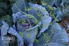 Companion planting primer: Dill attracts the predatory wasps and they take care of cabbage worms.