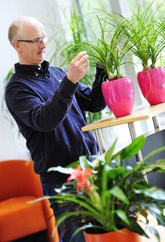 David Snell tending some Beaucarnea Nolina 'onion set' office plant displays