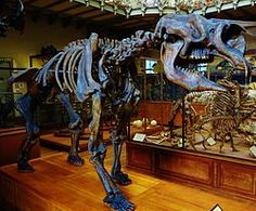 """Bunyip - Diprotodon - Diprotodon, meaning """"two forward teeth"""", is the largest known marsupial ever to have lived. Along with many other members of a group of unusual species collectively called the """"Australian megafauna,""""  it existed from approximately 1.6 million years ago until extinction some 46,000 years ago (through most of the Pleistocene epoch)...."""