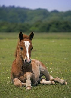 'New Forest Foal' - photo by Krys Bailey Cute Baby Horses, Funny Horses, Cute Baby Animals, Animals And Pets, Funny Animals, Most Beautiful Horses, Pretty Horses, Horse Love, Animals Beautiful