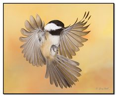 """All Engines Reverse!"" by Gerry Sibell, via 500px  Black capped chickadee"