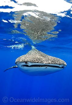 Whale Shark Christmas Island