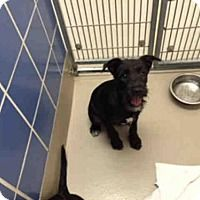 Labrador Retriever Mix Puppy for adoption in Austin, Texas - *RILEY