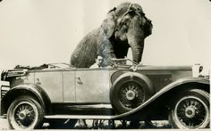 Clyde Beatty in Car with Elephant