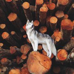"""@loki_the_wolfdog here just keeping an eye on things."" #dogsofinstagram #dogs #dog by dogsofinstagram"